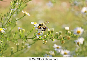A furry Bumblebee is Polinating a White Aster Flower on a Summer Day