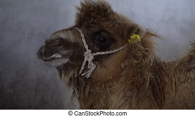 A furry camel's face - A close up shot to a young camel's...