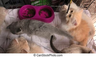 Turkish Angora cat looking - A furry red and white Turkish...