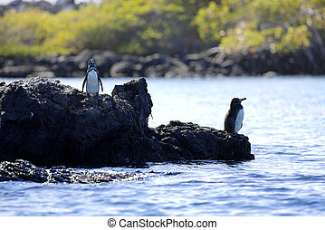 A Galapagos Penguin looking around at Isabela