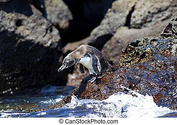 a, galapagos, pinguin