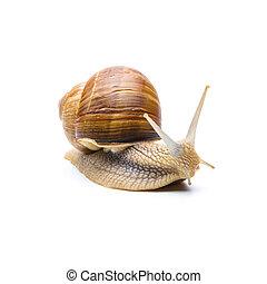 snail (Helix aspersa) - A garden snail (Helix aspersa)...