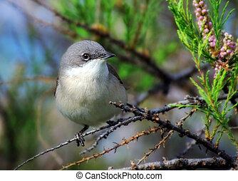 A Garden Warbler bird seating on a tree branch.