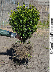 A gardener is planting large boxwood, buxus shrub with big ...