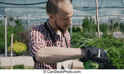 A gardener with a special garden tool sprayed coniferous plants in a large greenhouse.