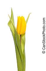 a, gelbe tulpe