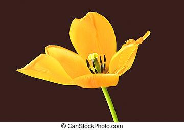 a, gelber , tulip.