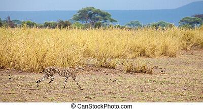 a gepard is going in the grassland in Kenya