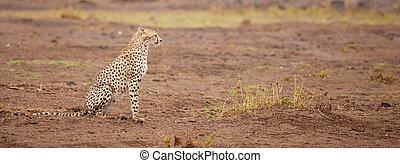 a gepard is sitting, safari in Kenya