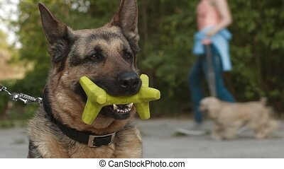 A German Shepherd Dog with a toy in it's mouth