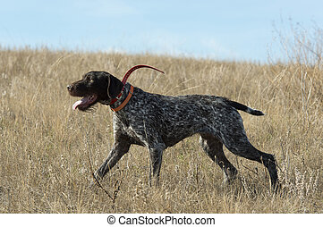 German Wirehair - A German Wirehair Pointing a bird on the ...