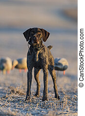 A German Wirehaired Pointer Hunting dog