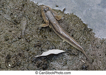 Mudskipper fish on the land