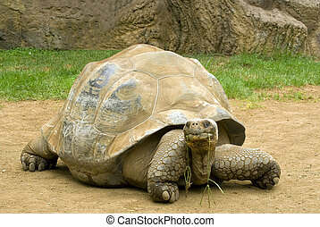 A giant tortoise chewing grass