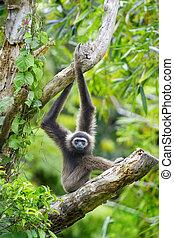 Gibbon monkey - A Gibbon monkey in Kota Kinabalu, Borneo, ...