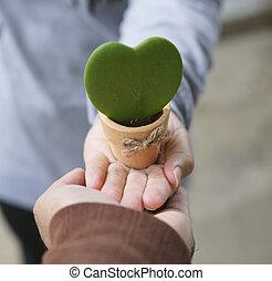 A gift for Valentine, Hoya Kerrii, Sweetheart Hoya Care, Symbol of love