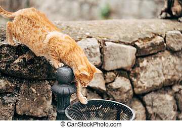 A ginger cat on a stone fence looks into the street trash can in search of food.