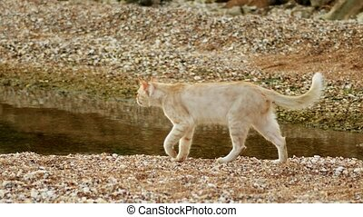 A ginger-white cat walking on sand-and-shells shore of the...