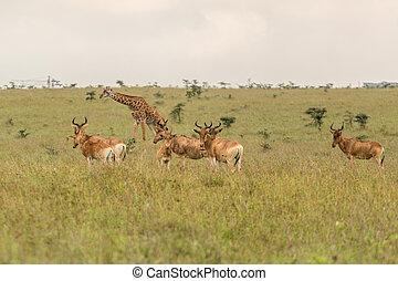A giraffe grazing with impalas - A giraffe family roaming...