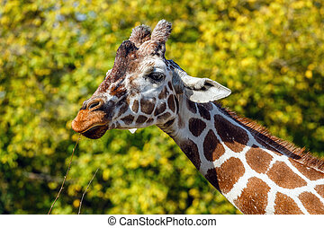 a giraffe in front of some green trees