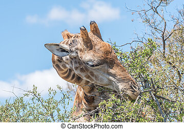 Giraffe in the Franklin Nature Reserve