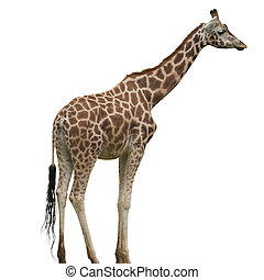 Giraffe Isolated - A Giraffe Isolated on White