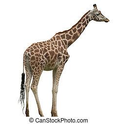 Giraffe Isolated - A Giraffe Isolated on White