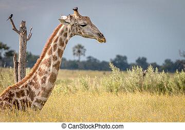 A Giraffe sitting in the grass.