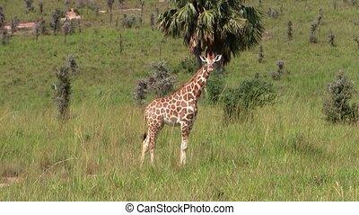 One Single Tall Giraffe Standing in a Green Grass Plain in the Wilderness in Uganda, Africa