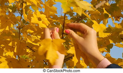 A girl is tearing yellow leaves in autumn, close-up. Of autumn theme.