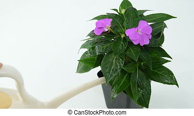 a girl watering a flower Impatiens from a garden watering...