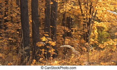 A girl with long loose bright brown, almost ginger, hair and a few locks in the front dyed yellow, green and blue freezes for a moment and moves on. Against an autumnal yellow forest.