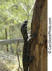 A goanna climbing a tree.