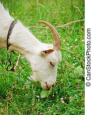 A goat in green grass