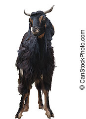 A Goat Isolated on White