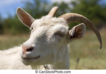 A goat looking into the camera, close-up