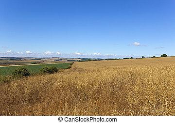 golden canola crop