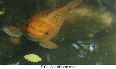 A golden carp opens its mouth on a lake surface