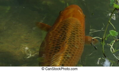 A golden carp swims slowly in a lake on a sunny day