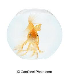 A golden fish in aquarium