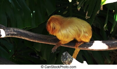 A golden lion tamarin.The golden lion tamarin is an...