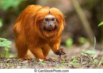 golden lion tamarin - A golden lion tamarin (Leontopithecus...