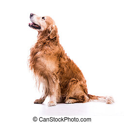 golden retriever dog laying down - A golden retriever dog ...