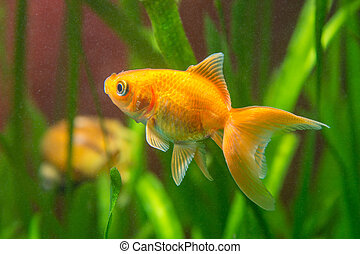 A goldfish in a tank with dirty water