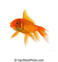 goldfish - A goldfish in aquarium exempted on white ...