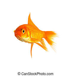 goldfish - A goldfish on a white background. Created in the ...