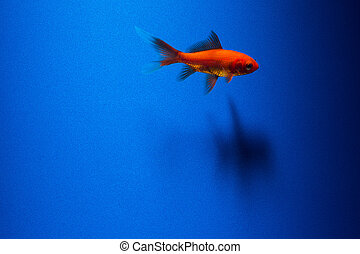 A goldfish on blue - A goldfish with shadow on blue ...