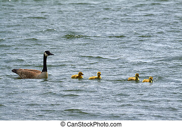 A goose family floating on the water.