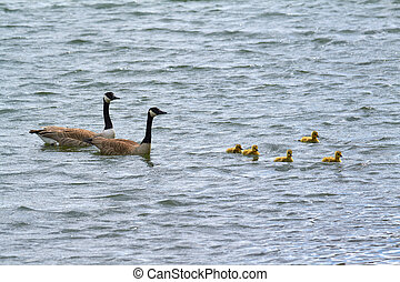 goose - A goose family floating on the water.