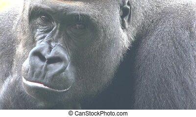 A Gorilla African Wildlife